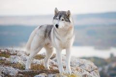 Un husky siberiano grigio delizioso sta su una montagna nei precedenti di una foresta e delle nuvole Fotografia Stock