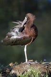 Un ibis brillante Imágenes de archivo libres de regalías