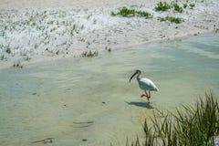Un Ibis en una piscina de la marea cerca de la playa Foto de archivo