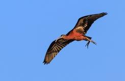 Ibis lucido in volo Fotografia Stock Libera da Diritti