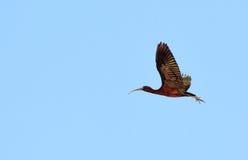 Ibis lucido in volo Fotografia Stock