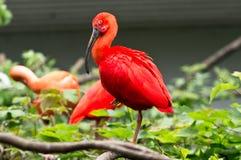 Un Ibis rojo Foto de archivo libre de regalías