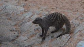 Un ichneumon égyptien de Herpestes de mangouste, également connu sous le nom d'ichneumon, clips vidéos