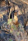 Un'icona australiana - il Kangeroo Fotografie Stock
