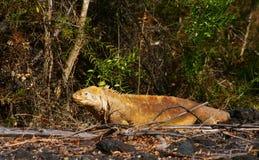 Un'iguana dello sbarco del Galapagos esce dalla tonalità Fotografie Stock