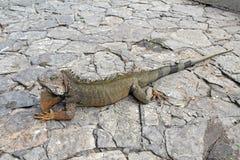 Un'iguana dello sbarco a Guayaquil, Ecuador Immagini Stock Libere da Diritti