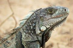 Un'iguana portoricana Immagine Stock