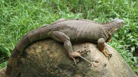 Un'iguana sopra la grande roccia fotografia stock