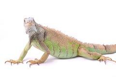 Un'iguana verde Immagini Stock