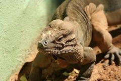 Un iguane de rhinocéros de Hispaniola Photographie stock libre de droits
