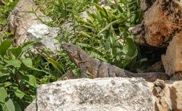 Un iguane vert se dorant sur les pierres antiques parmi le feuillage Image libre de droits