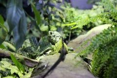 Un iguane vert se repose sur une roche Image stock