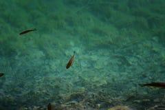 Un'immagine dei pesci che nuotano in un lago, contenuta il parco nazionale Plitvice, Croazia Fotografie Stock Libere da Diritti