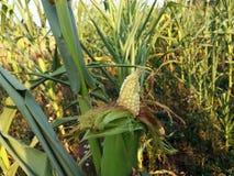 Un'immagine del fuoco selettivo della pannocchia di granturco nel campo di grano organico Fotografia Stock Libera da Diritti