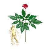 Un'immagine del ginseng della pianta Immagini Stock