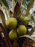 Un'immagine del primo piano di giovani noci di cocco fresche con le foglie verdi ed il giorno cronometrano il fondo Fotografia Stock