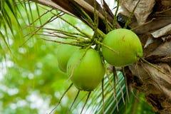Un'immagine di giovane noce di cocco fresca Immagini Stock Libere da Diritti