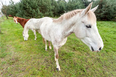 Un'immagine di tre cavalli che pascono sull'erba Immagine Stock Libera da Diritti