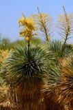 Un'immagine di un cactus di fioritura Immagine Stock