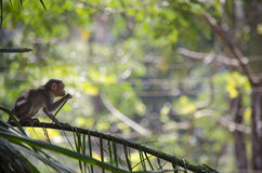Un'immagine di una scimmia di macaco del cofano che mangia le foglie fotografie stock