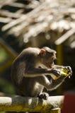 Un'immagine un succo bevente della scimmia di macaco del cofano immagine stock libera da diritti