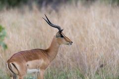 Un'impala catturata dal lato Fotografia Stock