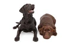 Un'indicazione dei due di labrador cani del documentalista Immagini Stock