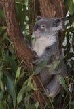 Un indigène d'ours de koala à l'Australie Images libres de droits