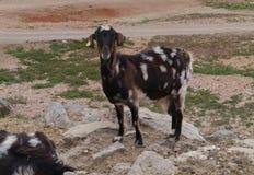 Un indigène de chèvre de Majorero vers Fuerteventura en Espagne Photographie stock