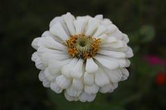 Un'inflorescenza bianca di un fiore senza titolo immagini stock libere da diritti