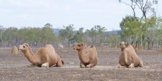 Un inginocchiamento di tre cammelli Fotografia Stock Libera da Diritti