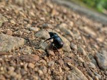 Un insecte a appelé l'horloge de fougère avec les ailes brunes Photographie stock