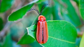 Un insecte brun s'accroupit sur une feuille verte photos stock
