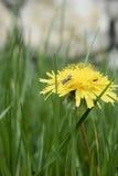 Un insecte dans le pissenlit jaune Image libre de droits