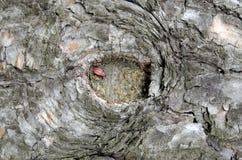 Un insecte dans un petit trou dans une écorce d'arbre Photographie stock libre de droits