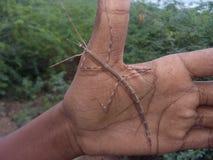 Un insecte de bâton dans ma main images libres de droits