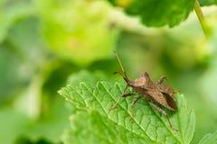 Un insecte de dock se reposant sur une feuille verte photographie stock