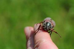 Un insecte de juin rampant sur un doigt Images stock