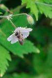 Un insecte de vol s'occupant d'une fleur Photographie stock libre de droits