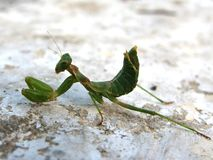 Un insecte vert magnifique de mante de prière Photo stock