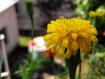 Un insecto blanco sobre la flor amarilla Ame y crece el micromutualism centrado en la flor de la maravilla foto de archivo libre de regalías