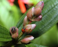 Un insecto de la señora en los brotes de flor imagen de archivo libre de regalías