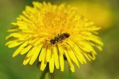 Un insecto de los himenópteros de la orden en la flor amarilla brillante del diente de león Fotos de archivo libres de regalías