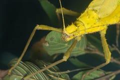 Un insecto de palillo amarillo Fotos de archivo libres de regalías
