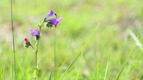Un insecto en un plantagineum del Echium - bugloss púrpura del ` s de la víbora - flor salvaje almacen de video