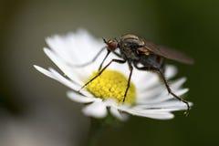 Un insecto en una flor de la margarita Imagen de archivo libre de regalías