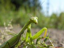 Un insecto es los mantes Imágenes de archivo libres de regalías