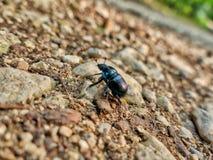 Un insecto nombró el reloj del helecho con las alas marrones Foto de archivo