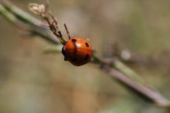 Un insecto rojo y negro en el jardín Foto de archivo