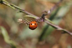 Un insecto rojo y negro en el jardín Imagenes de archivo